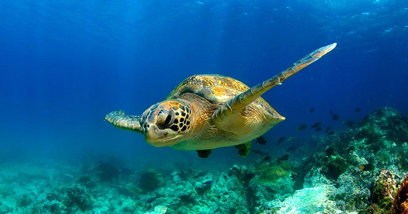 galapagos-sea-turtle